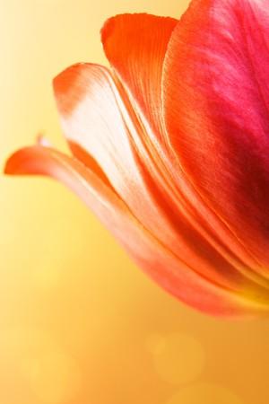Beautiful tulip on bright yellow background. photo