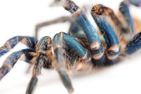 beautiful spider (chromatopelma cyaneopubescens, true colors) Stock Photo - 7270876