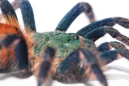 beautiful spider (chromatopelma cyaneopubescens, true colors) Stock Photo - 7270867