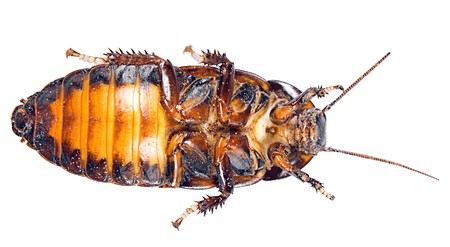 madagascar hissing cockroach: Cockroach isolated on white background.