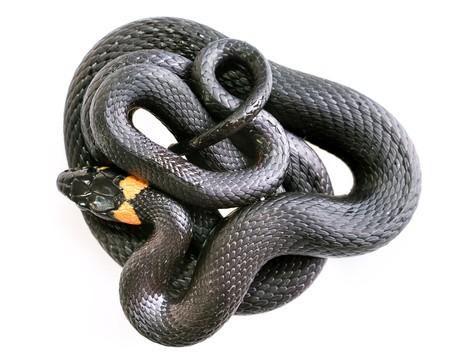 grass snake: Snake isolated on white background.