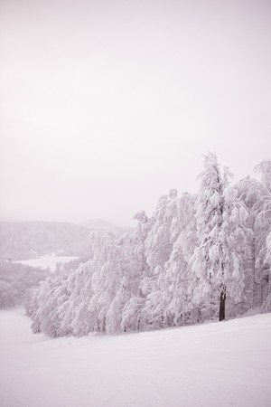 snowlandscape: Winter trees covered with fresh snow.