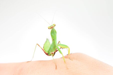 Portrait of the praying mantis. photo