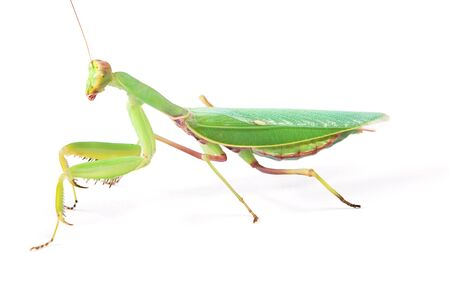 psychedelic mantis isolated on white background photo