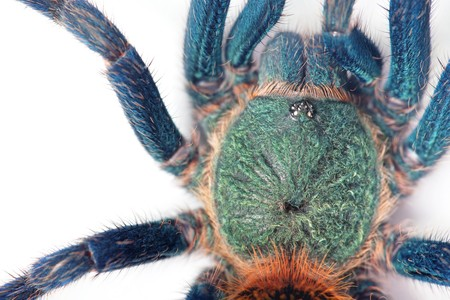 beautiful spider (chromatopelma cyaneopubescens, true colors) photo