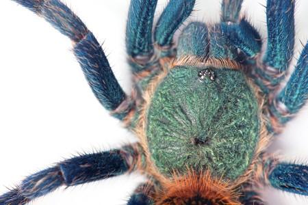 tarantula: beautiful spider (chromatopelma cyaneopubescens, true colors)