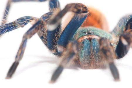 beautiful spider (chromatopelma cyaneopubescens, true colors) Stock Photo - 7495899
