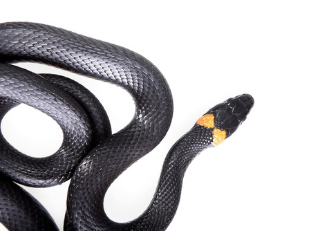 Snake isolated on white background. Stock Photo - 7495911