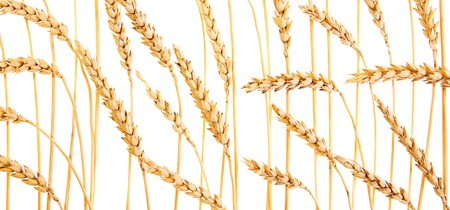Golden wheat isolated on a white background. Stock Photo - 7495896