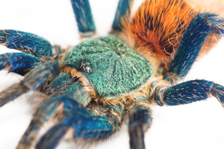 beautiful spider (chromatopelma cyaneopubescens, true colors) Stock Photo - 7593587