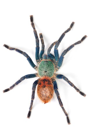 spider: beautiful spider (chromatopelma cyaneopubescens, true colors)