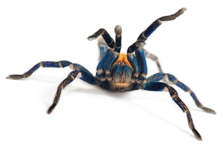 beautiful spider (chromatopelma cyaneopubescens, true colors) Stock Photo - 7593176