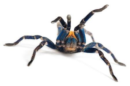 schöne Spider (Chromatopelma Cyaneopubescens, true Colors)