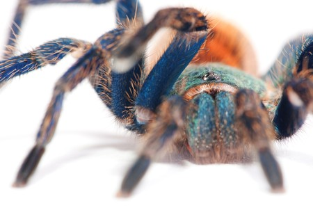 beautiful spider (chromatopelma cyaneopubescens, true colors) Stock Photo - 7593181