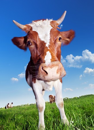 lacteos: Las vacas en el Prado verde.  Foto de archivo