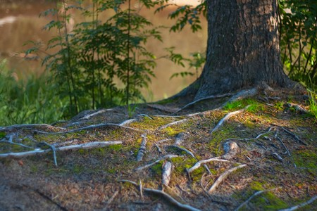 tree roots above the ground Zdjęcie Seryjne