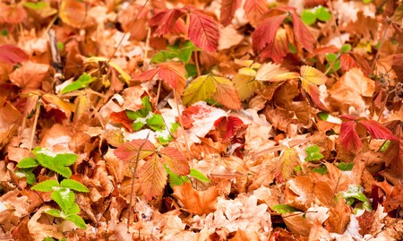 autumn coming, snow covers leaves photo