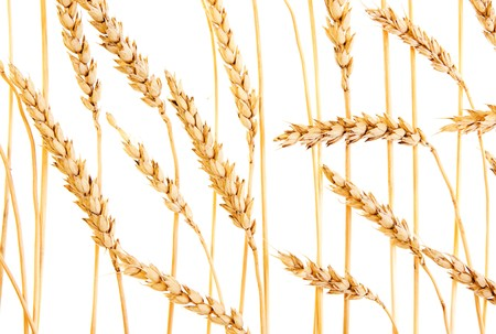 Golden wheat isolated on a white background. photo