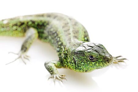 salamander: Lizard isolated on white background.