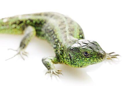 iguana: Lizard isolated on white background.