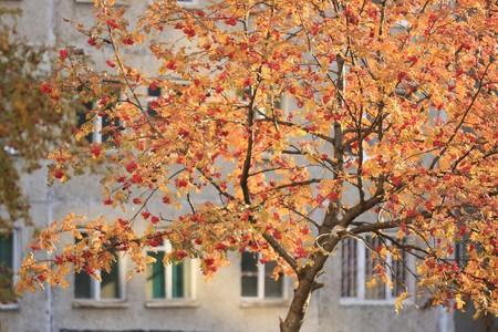 rowan autumn in city sunshine photo