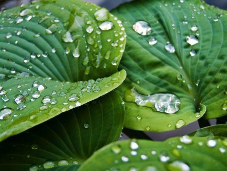 nourish: Hosta after the rain Stock Photo
