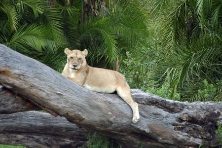 chilling out: Lioness Chilling Out Stock Photo