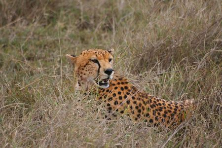 chilling out: Cheetah refrigeraci�n a cabo  Foto de archivo