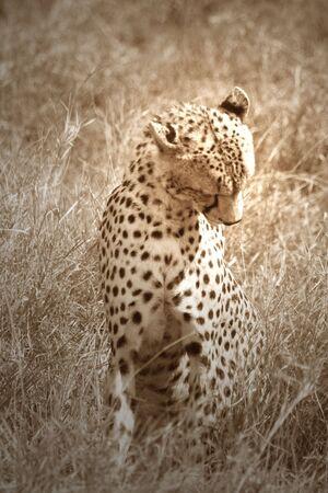 africat: Bathing Cheetah Stock Photo