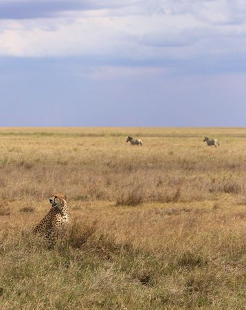 Cheetah with Zebras in the Background Stock Photo