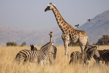 A giraffe mother and her calf amongst a herd of grazing plains zebra in the southern African savanna. Red Billed Oxpeckers in flight approaching giraffe mother. Typical bushveld mountainous backdrop.