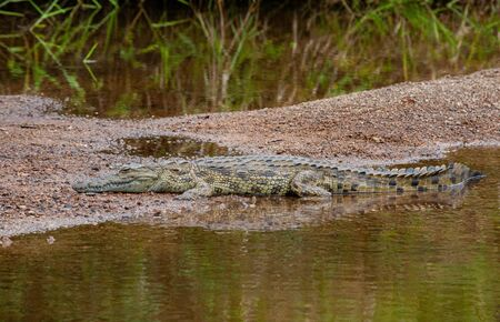 A light coloured, Nile crocodile (Crocodylus niloticus) basking on the bank of a perennial river, well camouflaged with its environment and its reflection in the clear water, in the South African bushveld. Stock fotó