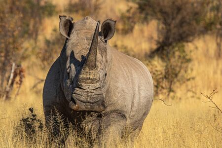 A solitary white rhino (Ceratotherium simum simum) bull, alerted and facing the camera, showing off his distinctive broad, flat, wide lip and two horns, in the South African bushveld.