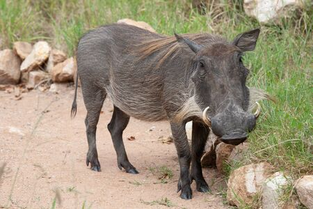 A closeup of a common warthog (Phacochoerus africanus) female on a foot path during the rainy season in the South African bushveld.