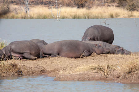 A crash of hippos huddled close together, baking in the sun on an island in an earth dam, in a South African nature reserve.