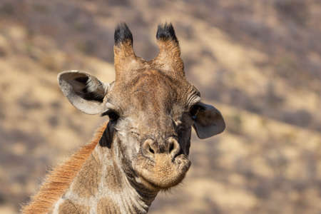 A closeup of a curious giraffe cow in a South African nature reserve. Their curiousity makes them a joyful target for photography. Standard-Bild