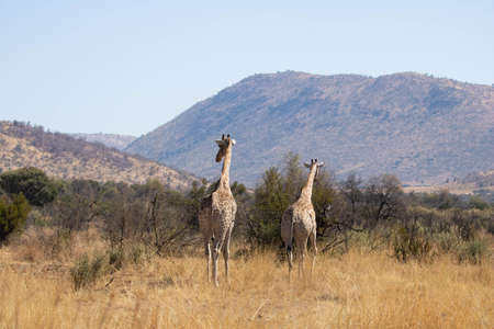 Two giraffes ambling quietly one after the other across the savanna in a South African nature reserve.