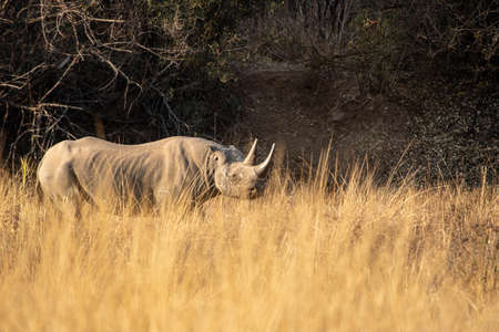 A solitary black rhino bull with flatten ears sniffing the air at sunset.