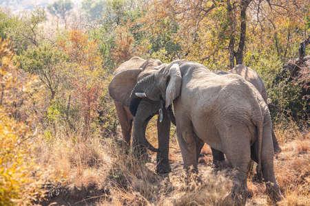 African elephant bulls socially interacting.