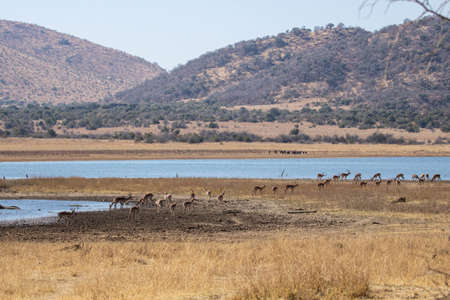 An African landscape close to an earth dam with herds of impala and wildebeest.