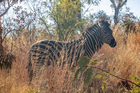 A wary zebra standing alert in tall grass at dusk.