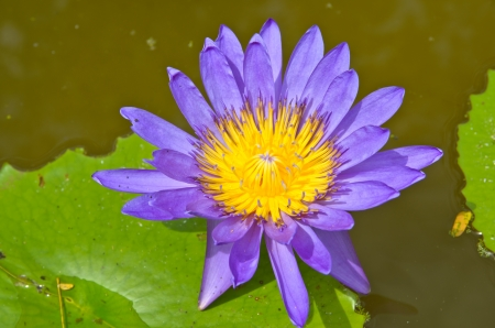 Beautiful  water lilly or lotus on water Stock Photo