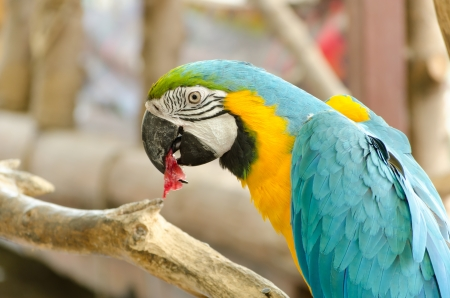 r fine: Blue and Gold macaw, Scientific name Ara ararauna parrot bird Stock Photo