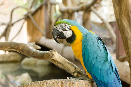 r fine: Blue and Gold macaw, Scientific name &quot,Ara ararauna&quot, parrot bird