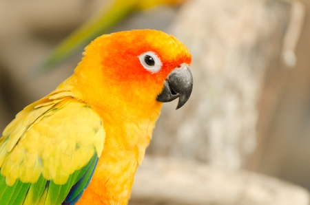 Sun Parakeet , Sun Conure Stock Photo - 17439272