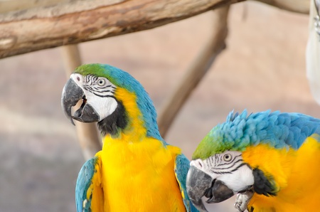 r fine: Blue and Gold macaw, Scientific name  Ara ararauna  parrot bird