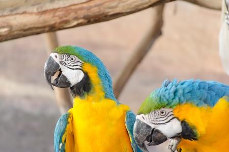 Blue and Gold macaw, Scientific name  Ara ararauna  parrot bird