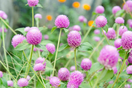Globe amaranth or Gomphrena globosa photo