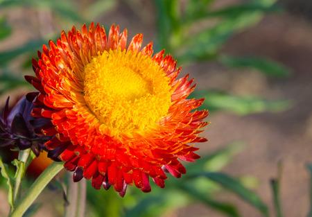 everlasting: Straw flower,Everlasting Stock Photo