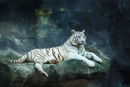 White bengal tiger looking Stock Photo